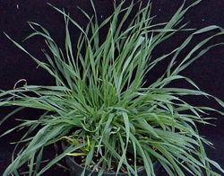Lawn Weeds Dallisgrass Paspalum Dilatatum Virginia