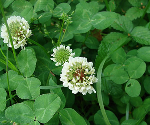 Lawn weeds lawn care services virginia green lawn care clover mightylinksfo Choice Image