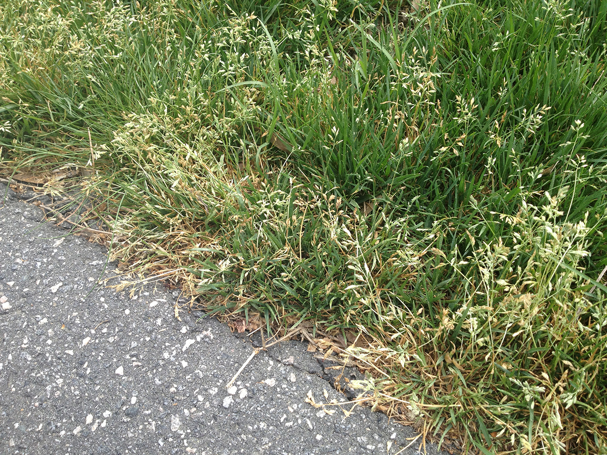Is Poa Annua In Your Lawn Virginia Green Lawn Care Company