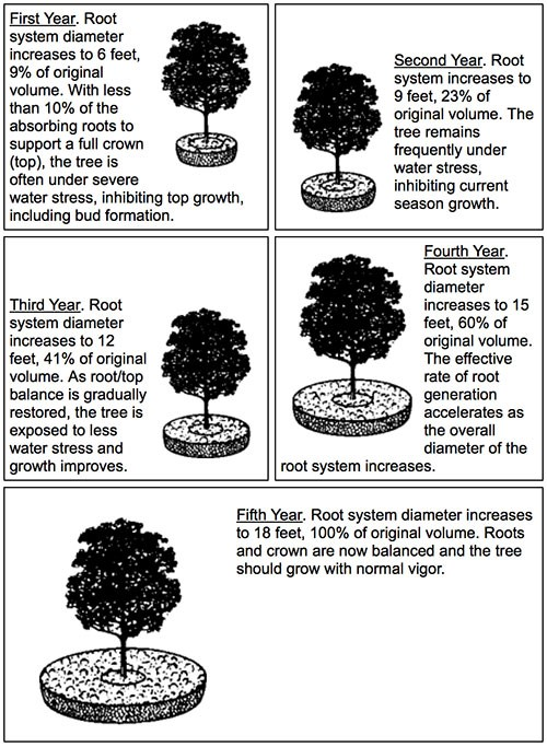 how to transplanting a tree Tree moving - practicality brown can transplant large trees, we have the expertise and specialised tree moving equipment.