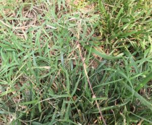 Controlling Bermudagrass In My Petersburg Va Lawn 2