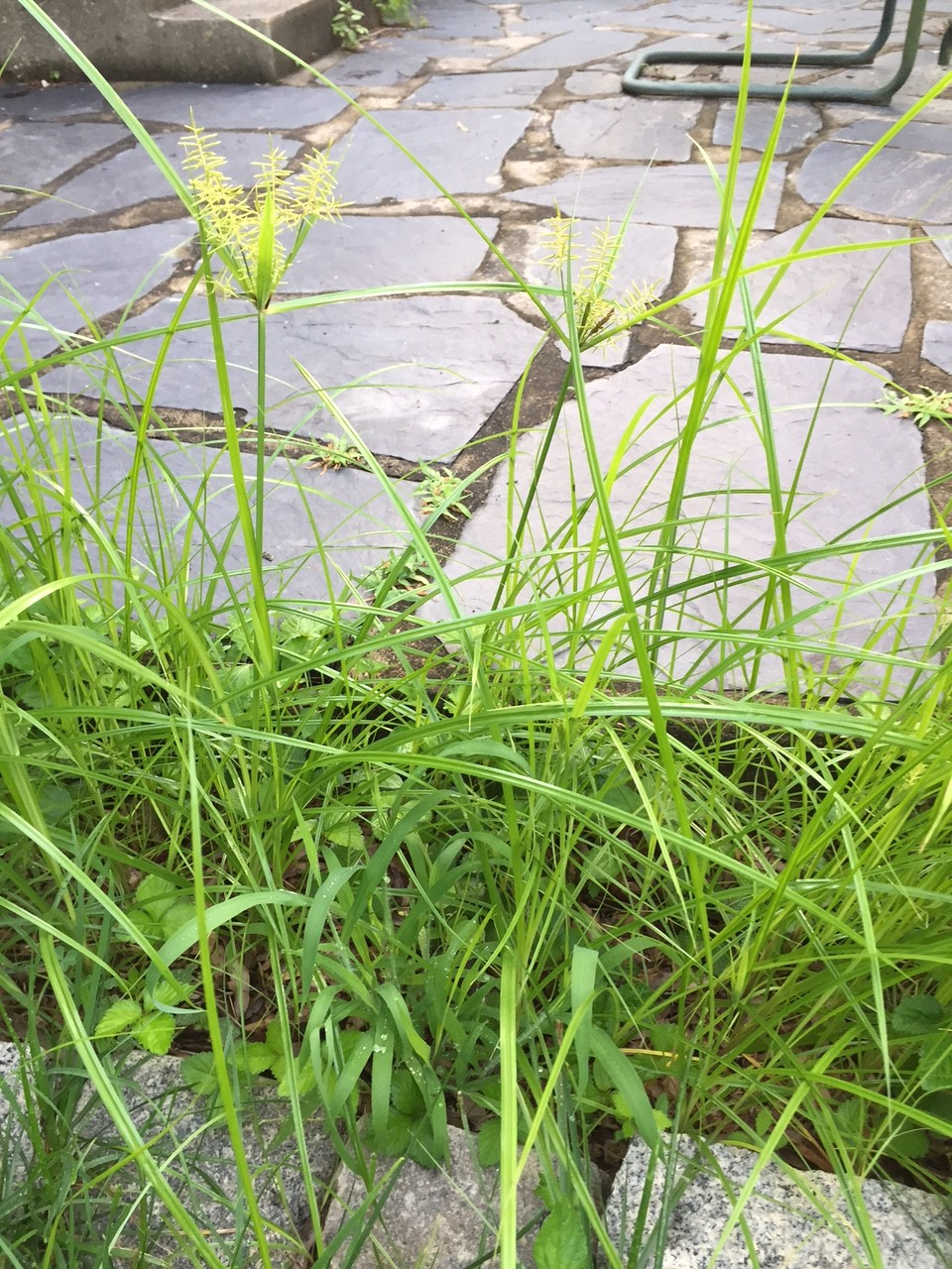 How Do I Manage Sedge Weeds In My Flower Beds Virginia
