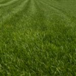 tall fescue grass - tall fescue lawn