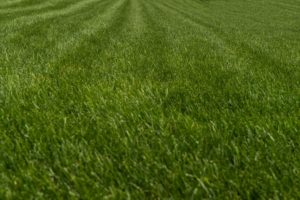 How To Properly Mow Tall Fescue Grass Virginia Green