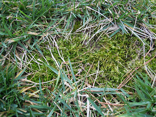 How To Remove Moss From A Manakin Sabot Lawn Virginia