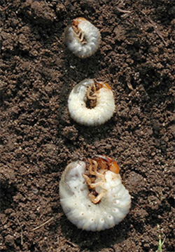 When Is The Best Time To Apply Grub Control Virginia