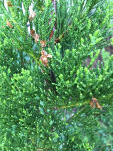 Bagworms - Virginia Green Lawn Care
