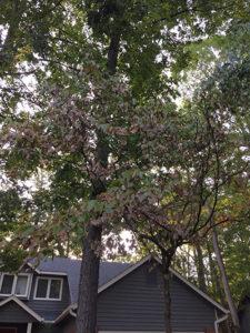 Dry Oak tree