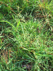 Poa Annua going to seed1