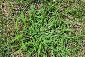 Crabgrass summer annual weed