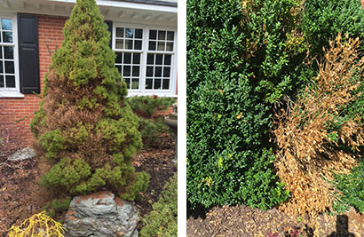 Black Root Rot Virginia Green Lawn Care Company