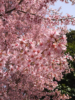 Blooming Cherry Trees Virginia Green Lawn Care