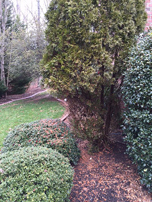 Deer Damage Of Trees And Shrubs Virginia Green Lawn Care