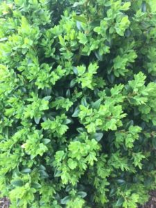 Pruning Boxwoods Virginia Green Lawn Care Company