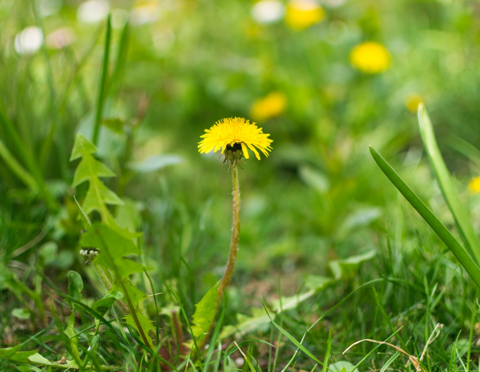 Common Weeds - Virginia Green Lawn Care