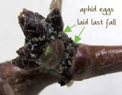 Aphid eggs in bud crevices
