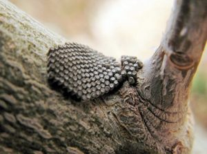 Canker worm eggs